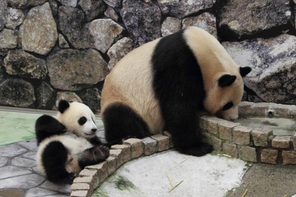 お母さんに遊んでほしい赤ちゃんパンダ