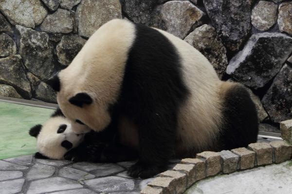 赤ちゃんパンダ、お母さんに遊んでもらう。