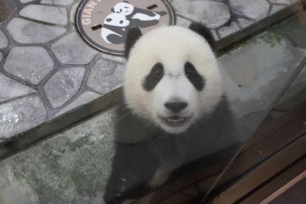 赤ちゃんパンダが急接近!