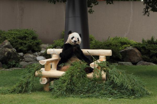 ご満悦のお父さんパンダ