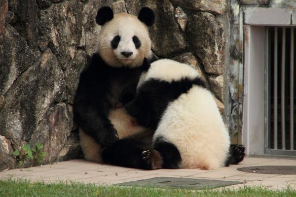 パンダの授乳
