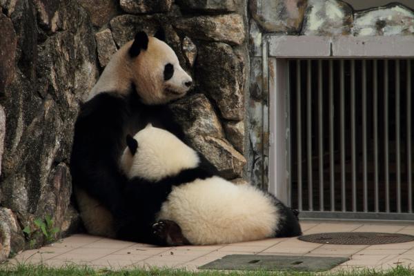 お母さんに抱きつく子パンダ