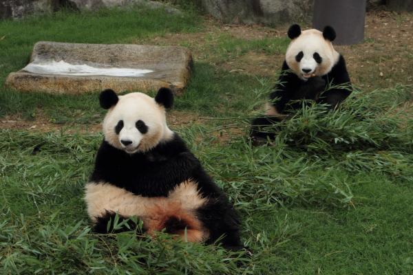 パンダ姉妹のガールズトーク