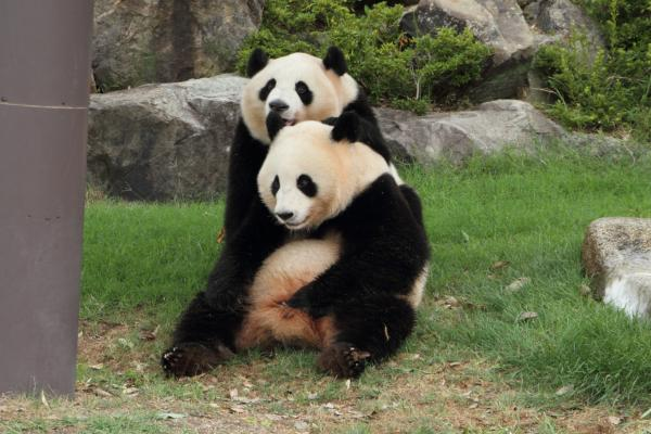 のんびりパンダ姉妹