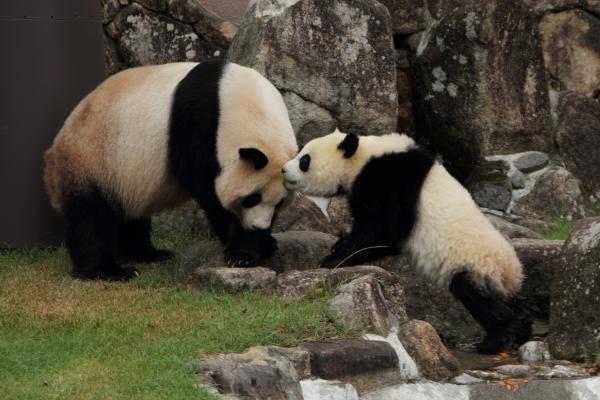 お母さんパンダのおでこにチュッ