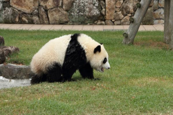 ずぶ濡れ子パンダ