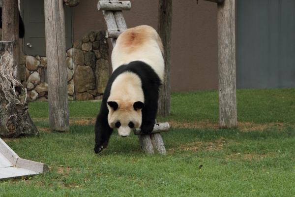 身軽なお母さんパンダ