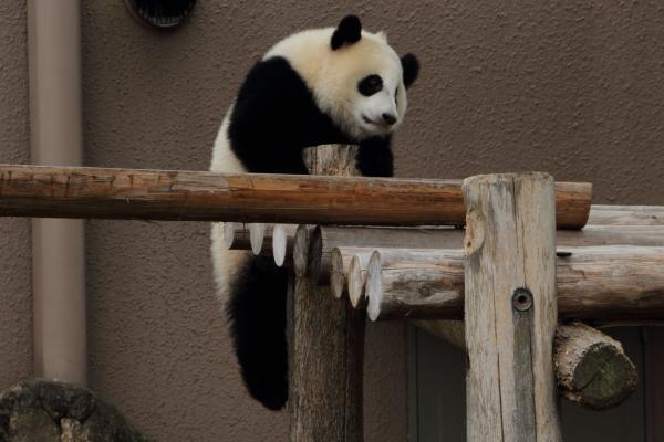 子パンダのよじ登り遊び