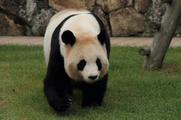 ゆったりお母さんパンダ