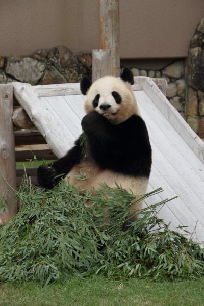 お母さんパンダの食事