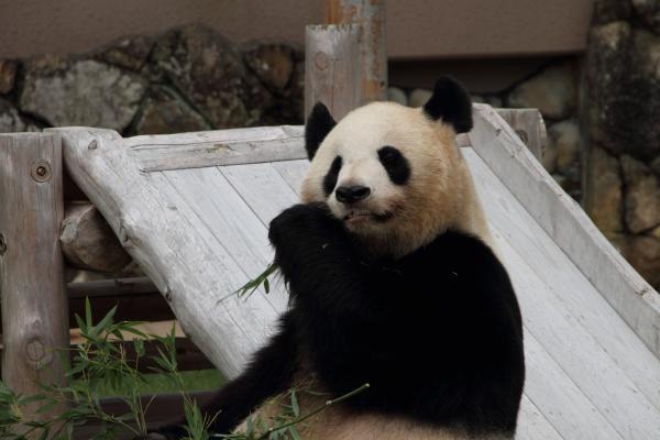 お母さんパンダ、笹をむしゃむしゃ