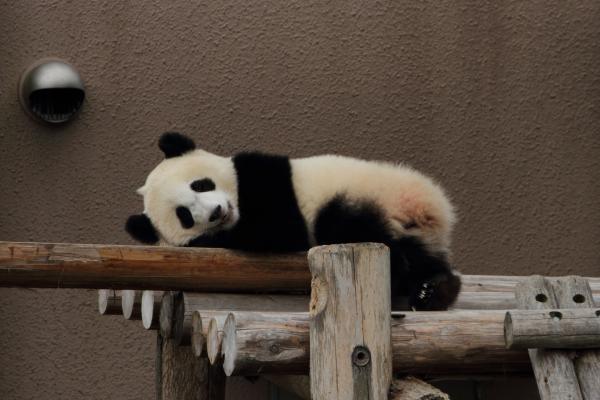 寝そべる子パンダ