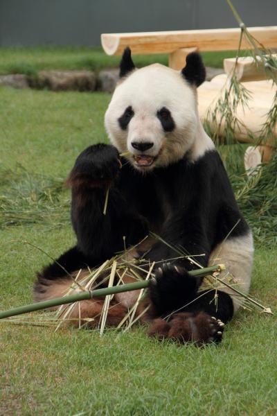お父さんパンダの食事