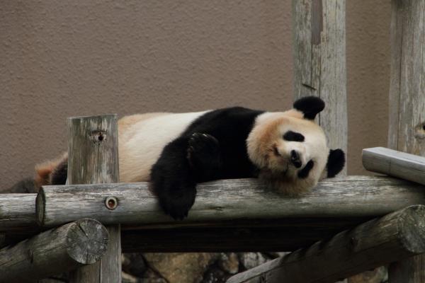 ゴロゴロお母さんパンダ