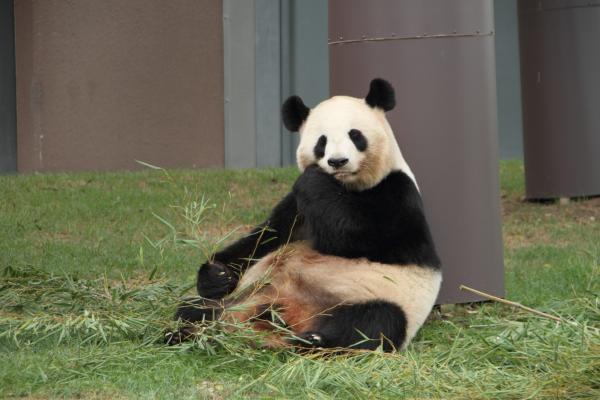 のんびりお食事、お母さんパンダ