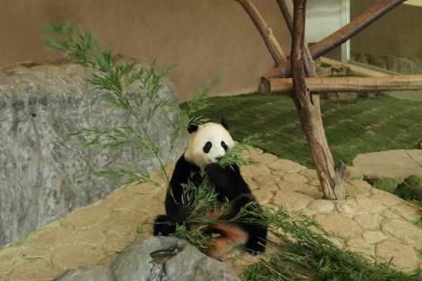よくばりお姉さんパンダ