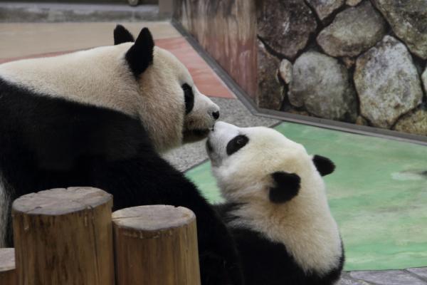 仲むつまじいパンダ母娘