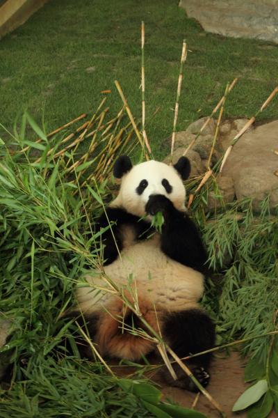 ご満悦のお姉さんパンダ