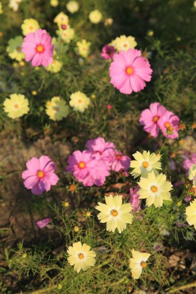 黄色とピンクのコスモス