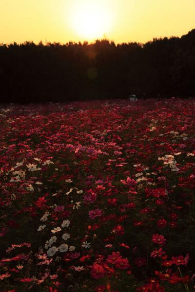 夕日のコスモス畑1