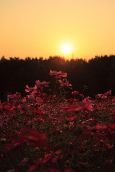 夕日のコスモス畑2