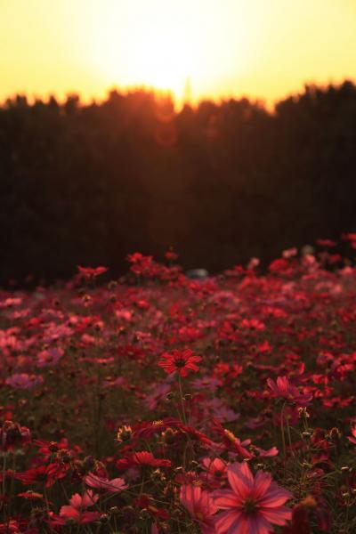 夕日のコスモス畑3