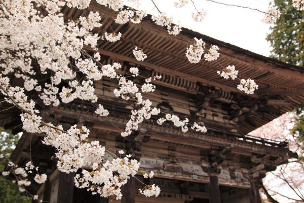 石山寺山門と桜