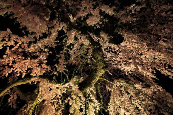 弘前公園、雨のような夜の枝垂れ桜