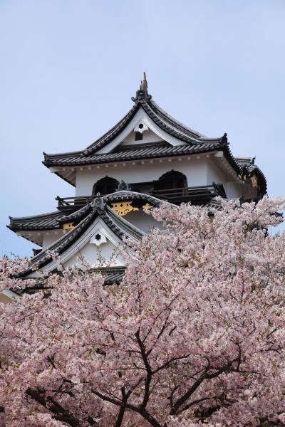 彦根城天守を彩る桜