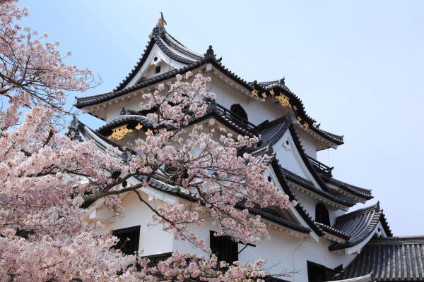 桜と彦根城天守閣を見上げる