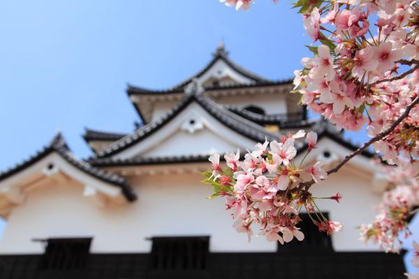 桜の向こうに彦根城を望む