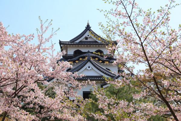桜に包まれる彦根城
