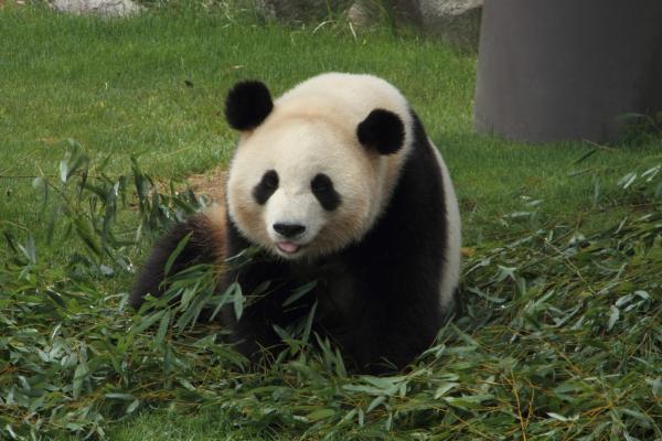 お姉さんパンダのカメラ目線