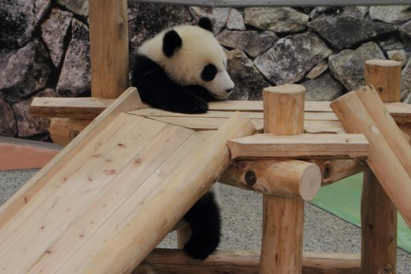 遊具に登る赤ちゃんパンダ。