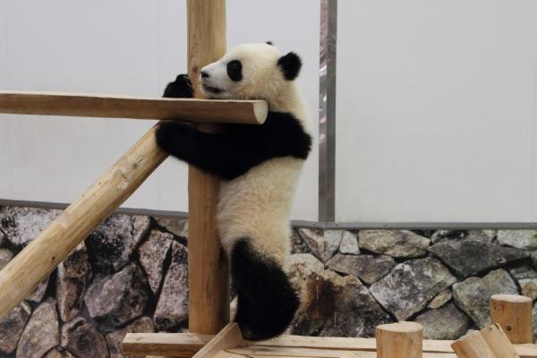 木につかまる赤ちゃんパンダ