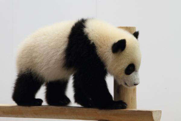 ぬいぐるみみたいな赤ちゃんパンダ