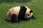 ずぶ濡れで寝ころぶパンダ