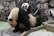 赤ちゃんパンダ、「ママ、遊んで—!」