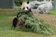 お母さんパンダのお食事