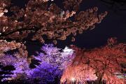 色とりどりにライトアップされた桜