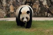 ノシノシ歩くお母さんパンダ