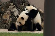 子パンダ、お母さんパンダにガブリ!