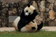 やんちゃ盛りの子パンダ