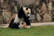 じゃれあう母子パンダ