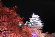 枝垂れ桜とライトアップ姫路城