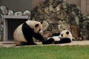 子パンダを制する母パンダ