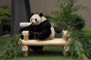 貫録たっぷり、お父さんパンダ