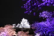 姫路城と紫の桜