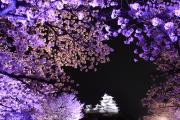 姫路城と夜空を彩る桜
