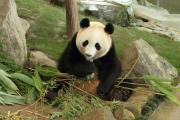 妹パンダの食事